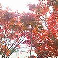 Maple2_2